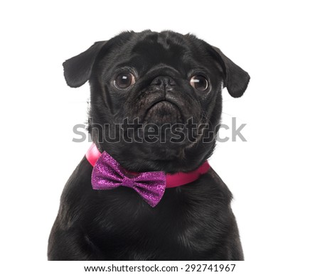 Close-up of an Pug in front of white background - stock photo