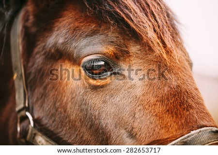 Close Up Of Arabian Bay Horse- Very Shallow Field Of Depth - stock photo