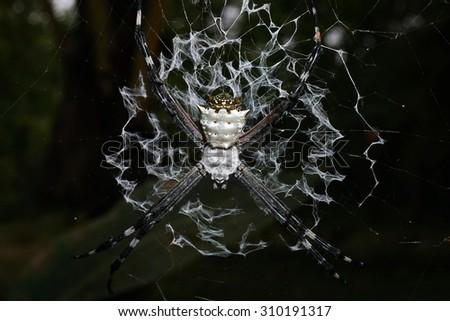 Close-up of Argiope argentata, silver argiope spider on its web, Costa Rica, Central America - stock photo