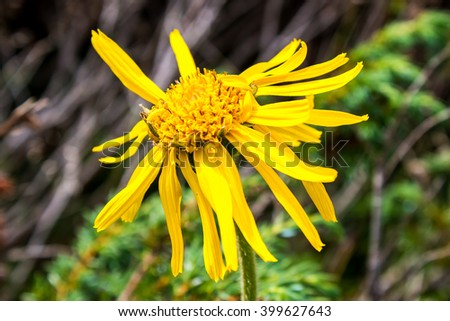 Close up of Arnica Montana flower in the dolomites - stock photo