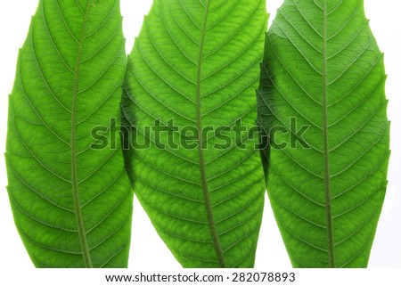 Close Up of Ash Tree Leaves - stock photo