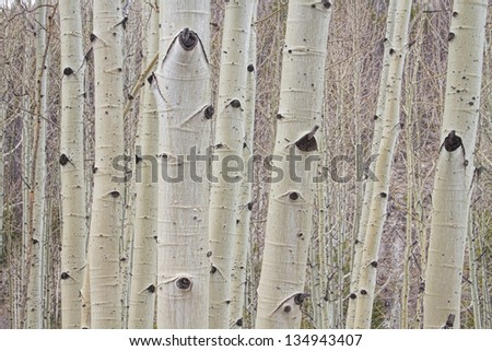 Close up of Aspen Trees forest trunks and bark high up in the Colorado Rockies. - stock photo
