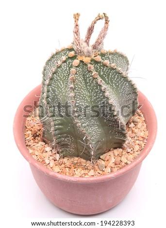 Close up of astrophytum capricorne cactus in a pot. - stock photo