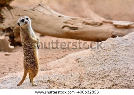 Close-up of attentive suricate standing on rock. Sandy background - stock photo