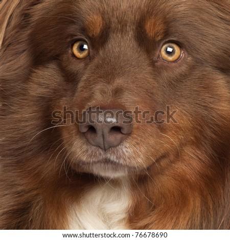 Close-up of Australian Shepherd dog - stock photo