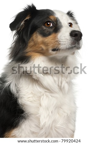 Close-up of Australian Shepherd dog, 6 years old, in front of white background - stock photo