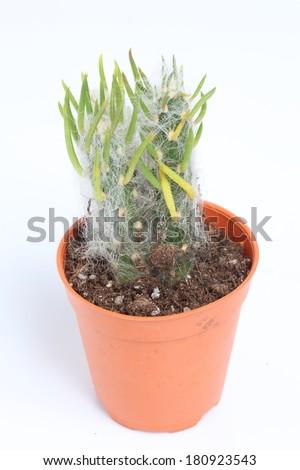 Close up of Austrocylindropuntia vestita forma cristata cactus in a pot. - stock photo