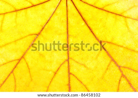 Close-up of autumn yellow maple leaf. Use for background - stock photo