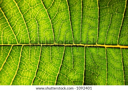 Close-up of backlighted leaf . nice detail - stock photo