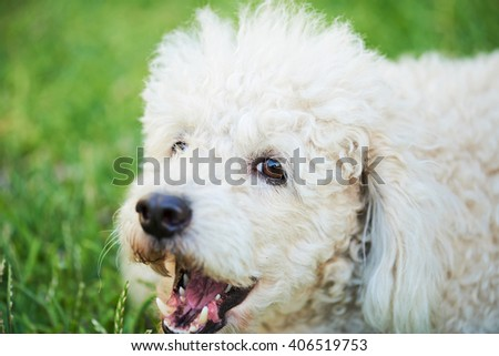close up of barking white poodle on green grass - stock photo