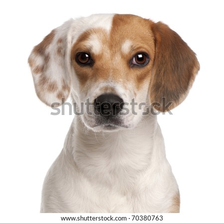Close-up of Beagle, 1 year old, in front of white background - stock photo
