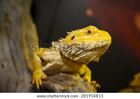 Close up of Bearded dragon on the wood - stock photo