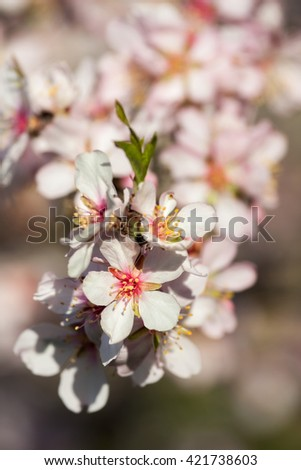 Close up of beautiful almond flowers in spring - stock photo