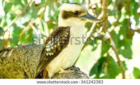 Close up of beautiful Australian laughing kookaburra standing on gumnut tree branch - stock photo