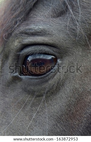 Close-up of beautiful black horse's face, a Friesian mare. - stock photo