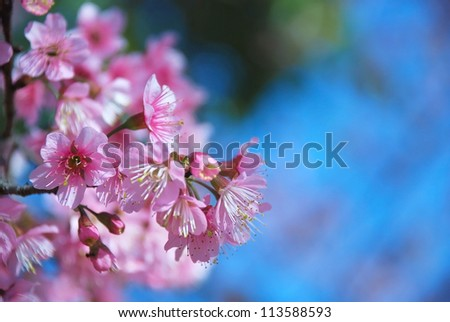 Close-up of beautiful Cherry blossoms in Chiangmai, northern of Thailand - stock photo