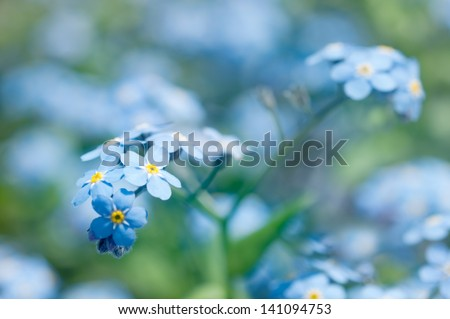 Close-up of beautiful forget me not blossoms. Shallow depth of field. - stock photo