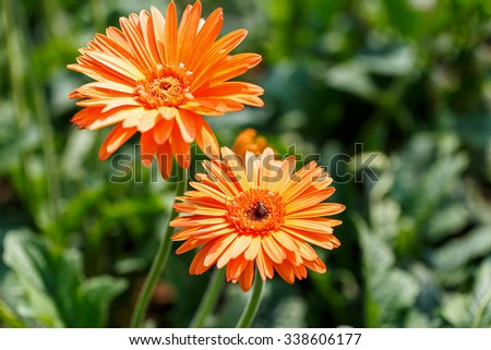 close up of beautiful gerbera flower on the outdoor garden - stock photo