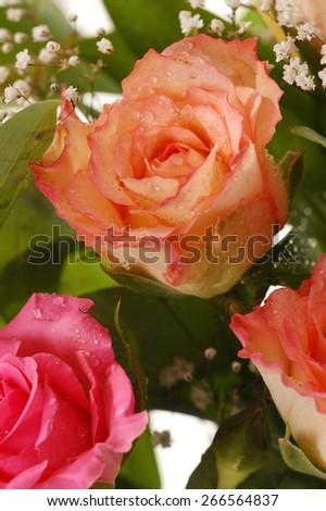 Close-up of beautiful ink rose, a studio photo  - stock photo