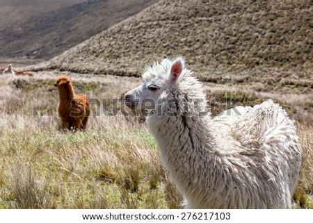 Close up of beautiful llama, Chimborazo National Park, south america - stock photo