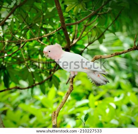 Close up of beautiful Major Mitchell's cockatoo (Lophochroa leadbeateri), selective focus. - stock photo