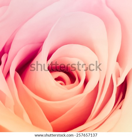 close up of beautiful multicolor rose - stock photo