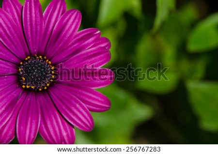 Close up of beautiful purple chrysanthemum flower with green background. - stock photo
