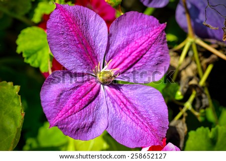 Close up of beautiful purple clematis flower, selective focus. - stock photo