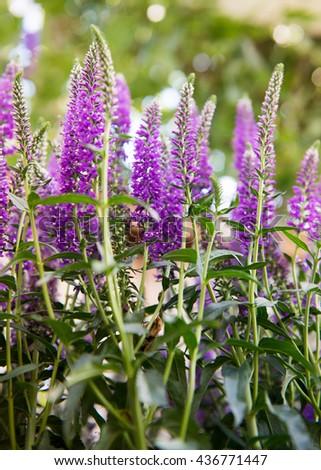 Close up of Beautiful Purple Spiked Speedwell and Blurred Backyard Lush Green Grass. Veronica Flower. - stock photo