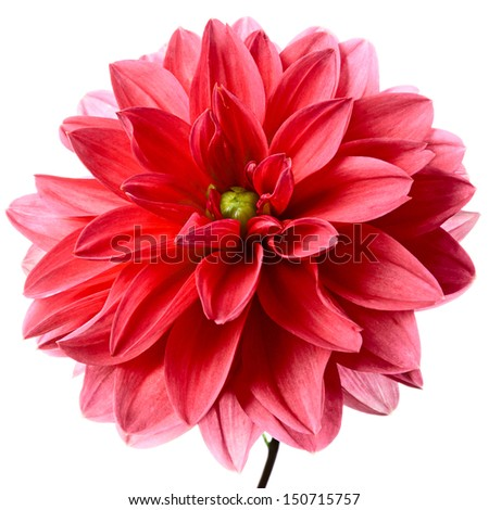 Close-up of beautiful red dahlia isolated on a white background - stock photo