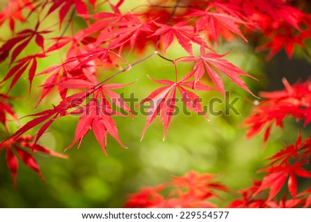 Close up of beautiful red leaves still on the tree. - stock photo