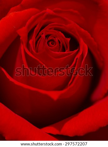 Close up of beautiful red rose. - stock photo