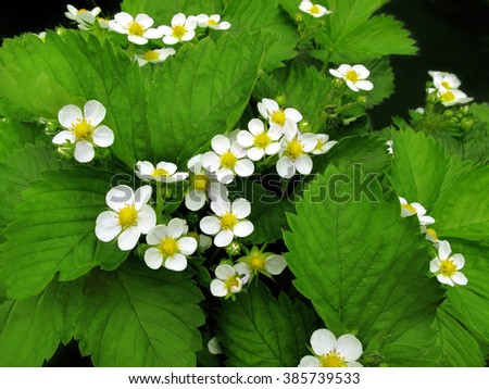 Close up of beautiful strawberry flowers                     - stock photo