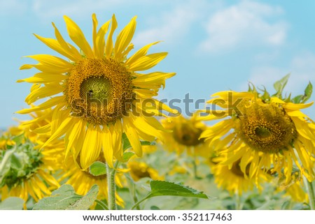 Close up of beautiful Sunflower in field - stock photo
