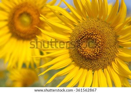 Close up of beautiful sunflowers in field - stock photo