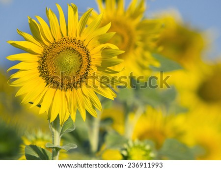 close up of beautiful sunflowers petal in flowers field with copy space use as nature plant  background ,backdrop  - stock photo