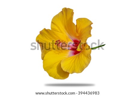 Close up of beautiful yellow Hibiscus - stock photo