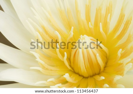 Close up of beautiful  yellow lotus blossom - stock photo