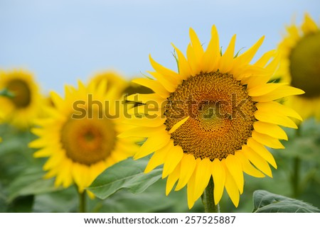 close up of beautiful yellow sunflowers in a countryside field - stock photo