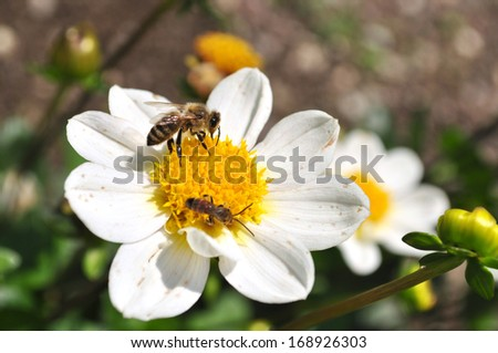 close up of bees collecting pollen on a flower - stock photo