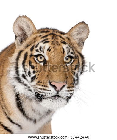 Close-up of Bengal Tiger, Panthera tigris tigris, 1 year old, in front of white background, studio shot - stock photo