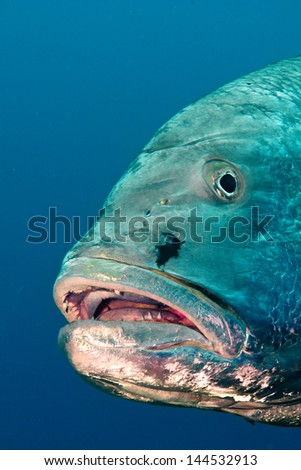 Close up of Big Dog Snapper (Lutjanus novemfasciatus), reefs of Sea of Cortez, Pacific ocean. Cabo Pulmo National Park, Baja California Sur, Mexico. Cousteau named it The world's aquarium. - stock photo
