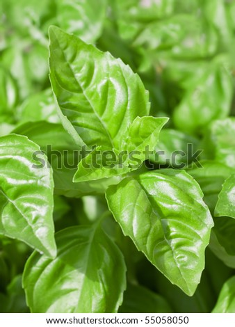 Close Up Of Big Green Basil Leaves - stock photo