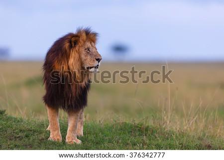 Close up of big Lion Lipstick from Rekero Pride in Masai Mara, Kenya - stock photo