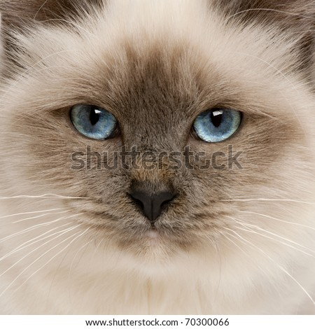 Close-up of Birman cat's face, 5 months old - stock photo