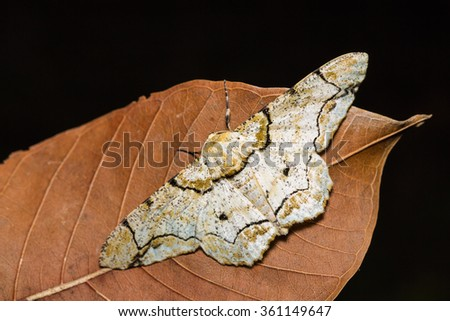 Close up of Biston inouei moth on dried leaf in nature, dorsal view, flash fired - stock photo