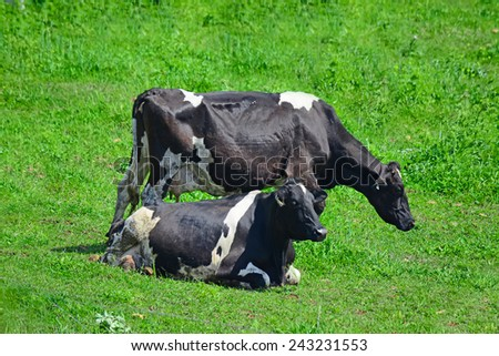 close up of black and white cows in a green field - stock photo