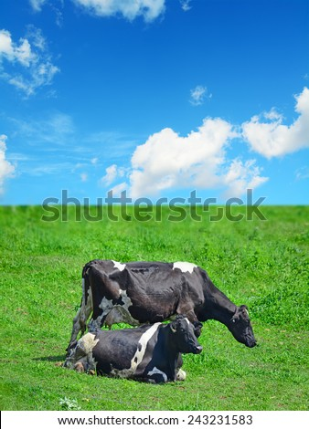 close up of black and white cows in a green field under white clouds - stock photo