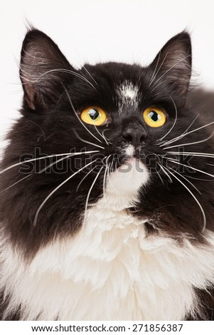 Close-up of black and white siberian cat - stock photo