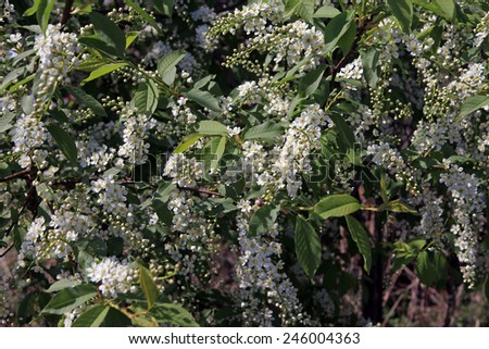 Close-up of blooming bird cherry in the garden on a sunny spring day  - stock photo